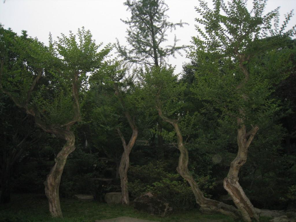 武侯祠4棵树